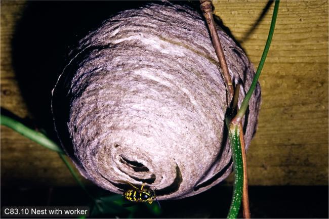 arenaria nest.jpg