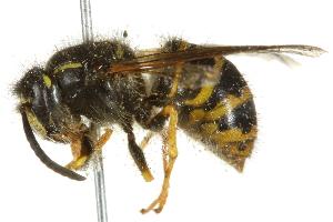 alpicola queen 1.jpg
