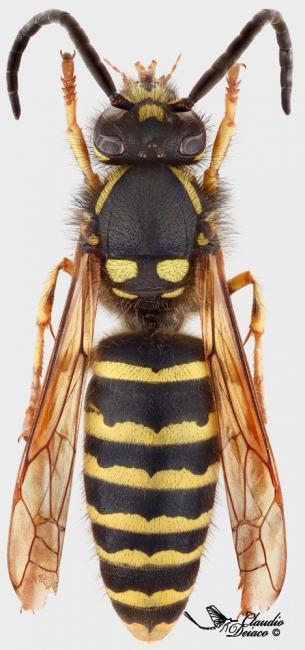 Dolichovespula-adulterina-a30336076 male.jpg
