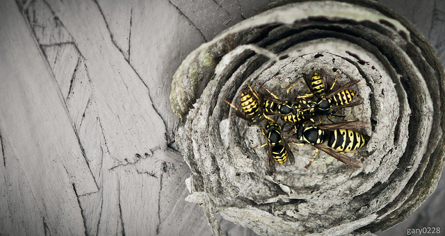 arctca yellow nest.jpg