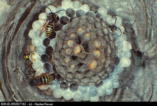 parasitized saxonica nest.jpg