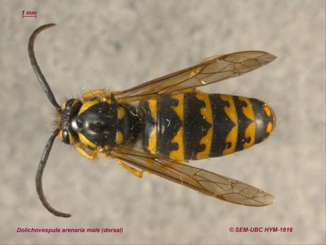 Dolichovespula arenaria male (1dorsal).jpg