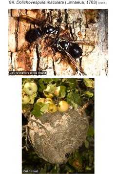 maculata 4.jpg