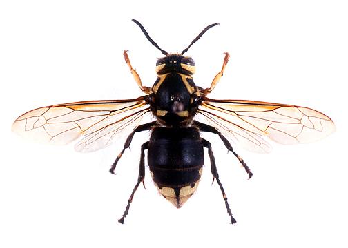 maculataq3.jpg