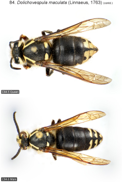 maculata2.jpg