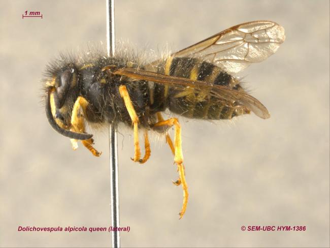 Dolichovespula alpicola queen (3lateral).jpg