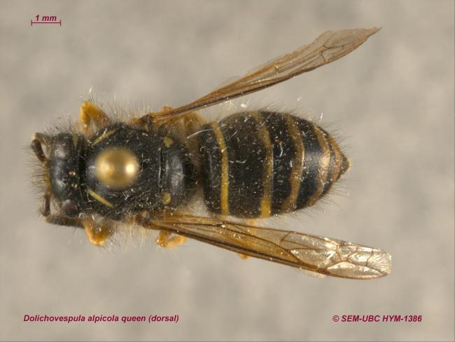 Dolichovespula alpicola queen (1dorsal).jpg