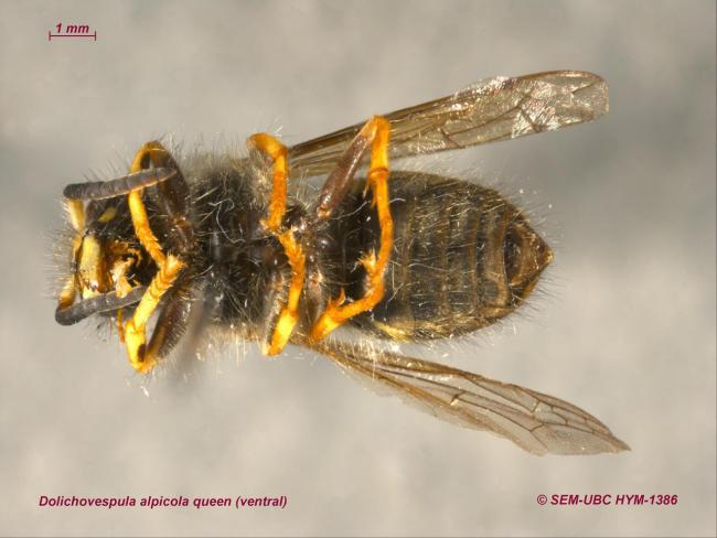 Dolichovespula alpicola queen (2ventral).jpg