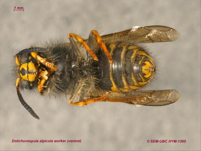 Dolichovespula alpicola worker (2ventral).jpg