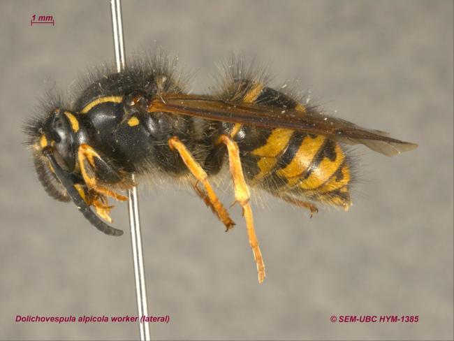 Dolichovespula alpicola worker (3lateral).jpg