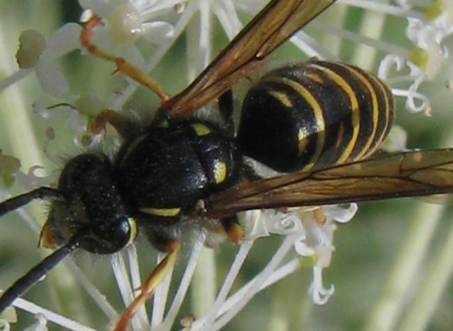 shinanoensis male4.jpg