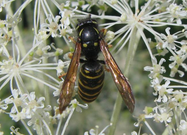 shinanoensis male2.jpg