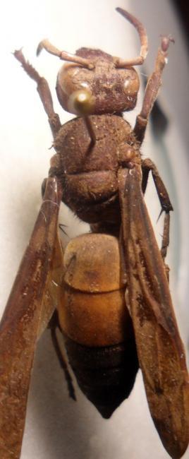 Vespa affinis India.JPG