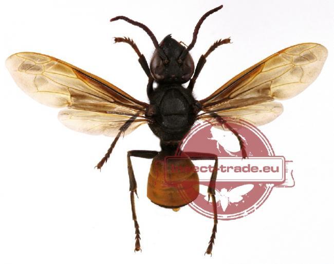affinis contenentalis Vietnam.jpg