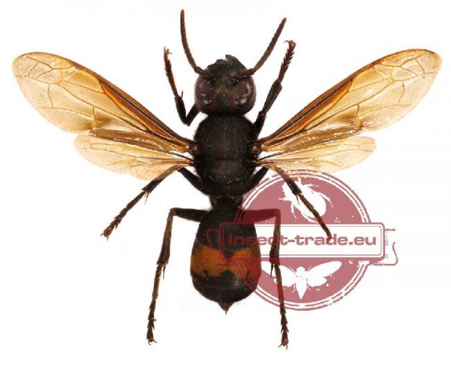 affinis mollucana Indonesisa.jpg