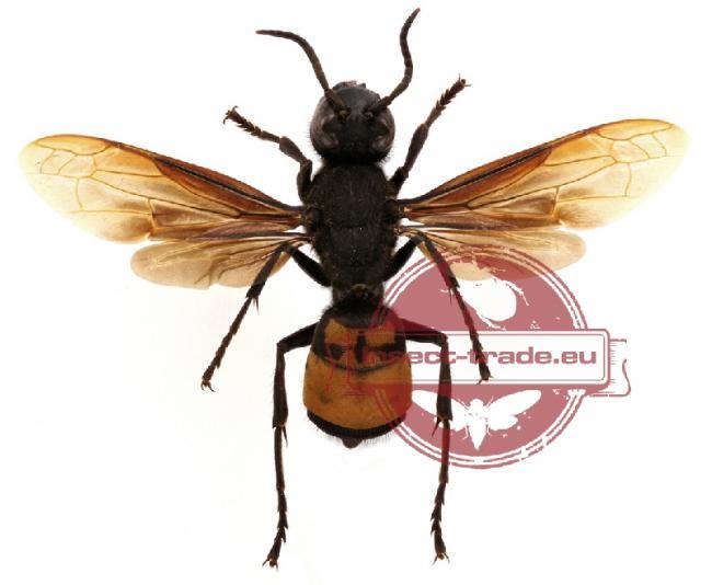 affinis mollucana1 Indonesia.jpg