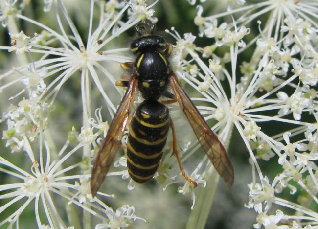 shinanoensis male1.jpg