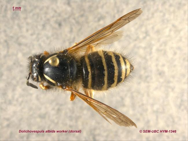 Dolichovespula albida worker (1dorsal).jpg