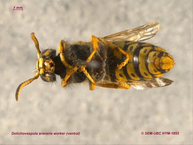 Dolichovespula arenaria worker (2ventral).jpg