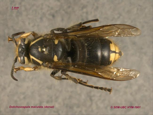 Dolichovespula maculata (1dorsal).jpg