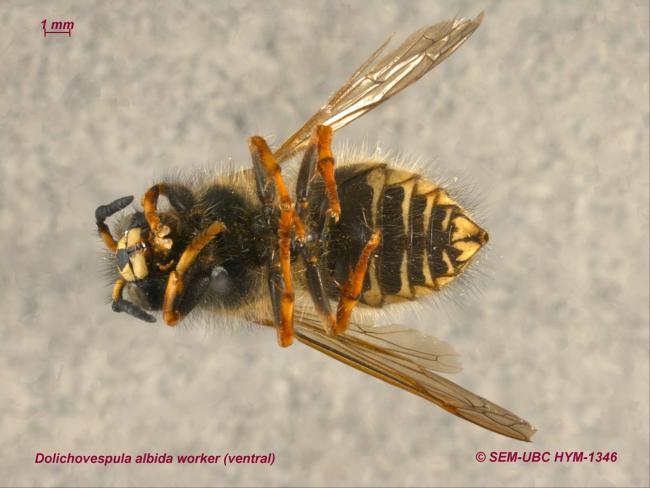 Dolichovespula albida worker (2ventral).jpg