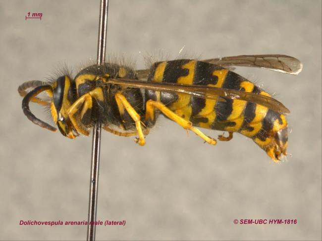 Dolichovespula arenaria male (3lateral).jpg