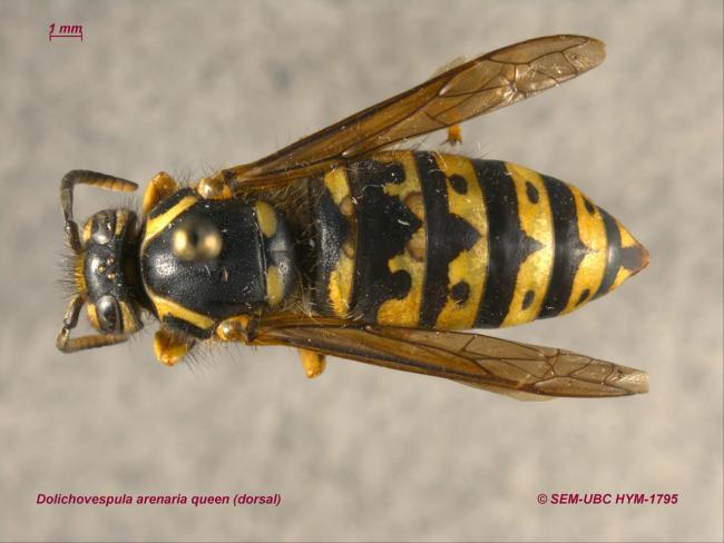Dolichovespula arenaria queen (1dorsal).jpg