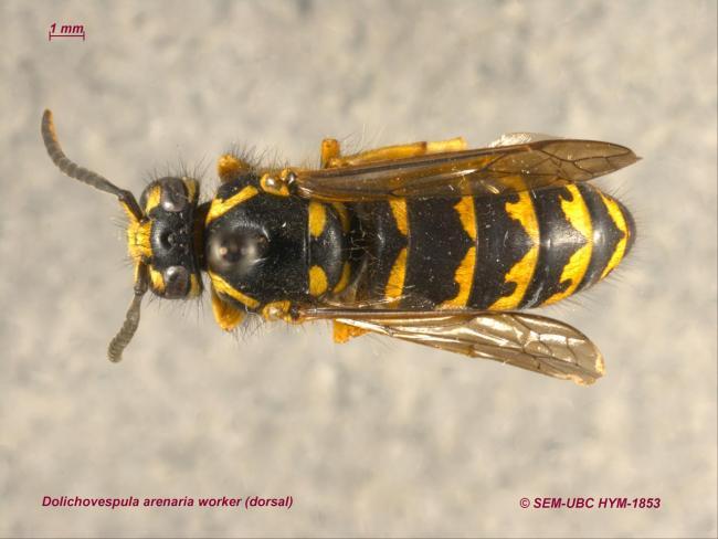 Dolichovespula arenaria worker (1dorsal).jpg