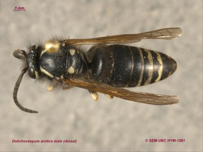 Dolichovespula arctica male (1dorsal).jpg