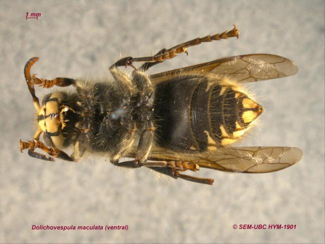Dolichovespula maculata (2ventral).jpg