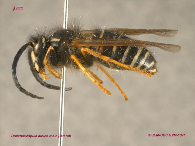 Dolichovespula albida male (3lateral).jpg