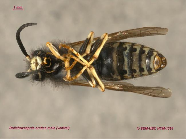 Dolichovespula arctica male (2ventral).jpg