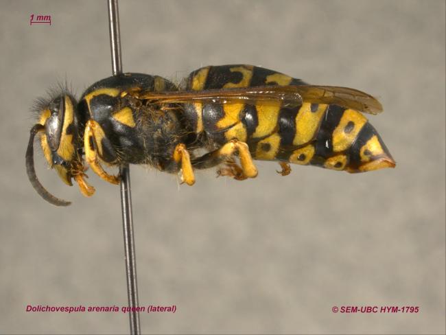 Dolichovespula arenaria queen (3lateral).jpg