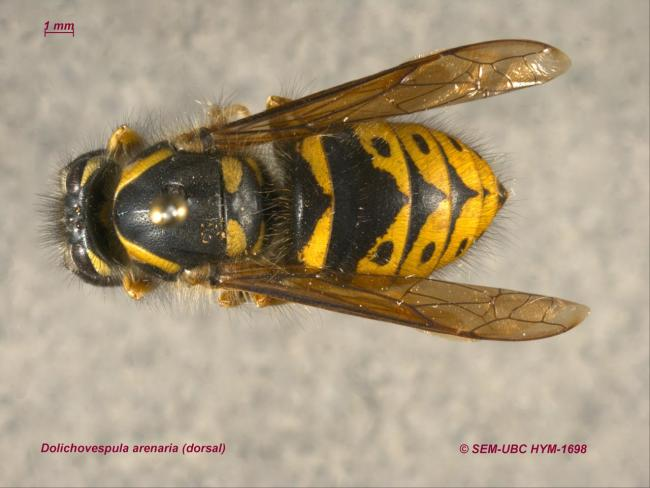 Dolichovespula arenaria (1dorsal).jpg