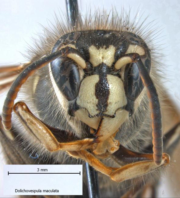 maculata 1.jpg