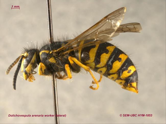 Dolichovespula arenaria worker (3lateral).jpg