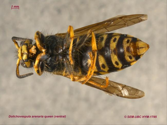 Dolichovespula arenaria queen (2ventral).jpg