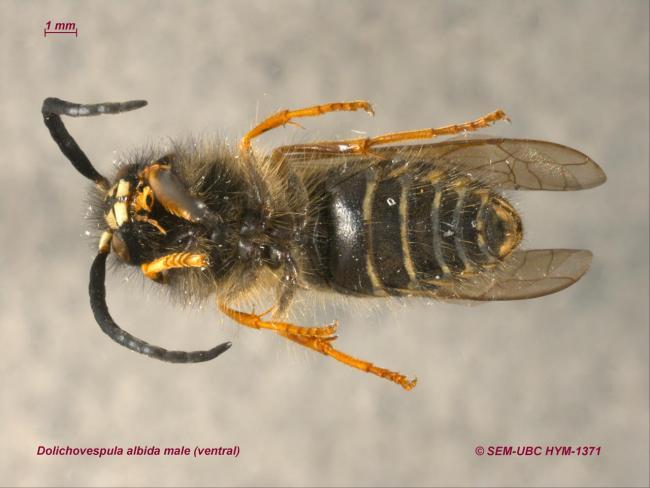 Dolichovespula albida male (2ventral).jpg