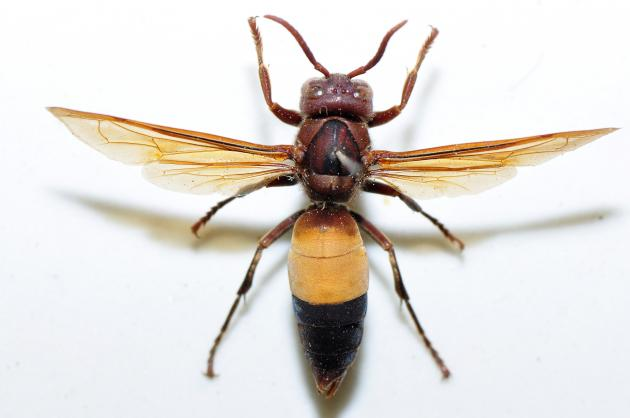 affinis formosana.jpg