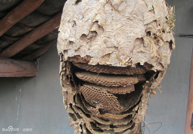 provespa nest yunnan7.jpg