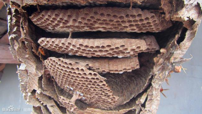 provespa nest yunnan6.jpg