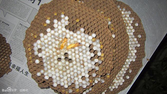 provespa nest yunnan10.jpg