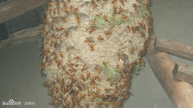 provespa nest yunnan2.jpg